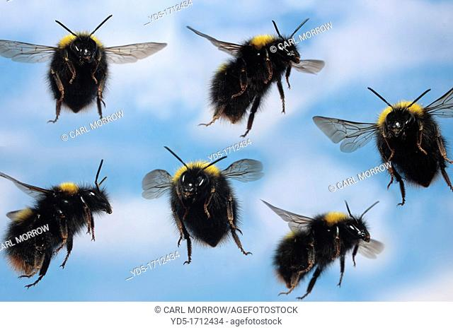 Bumblebees in flight