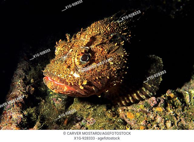 California scorpion fish Scorpaena guttata on an artificial reef created by a sunken ship in the California Channel Islands