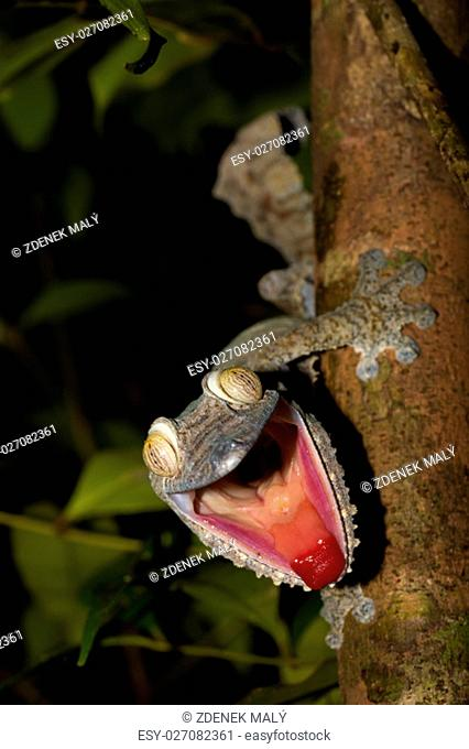 Giant Leaf-tail Gecko, Uroplatus fimbriatus, Nosy Mangabe park reserve, Madagascar. Angry gecko with opened mouth showing his red tongue as defense against the...