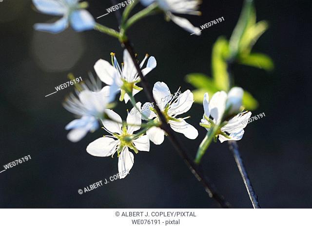 Blooms of wild plum (Prunus sp.) in Missouri, USA