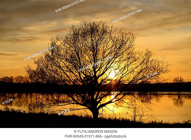 Bare tree silhouetted beside flooded field at sunset, Otmoor RSPB Reserve, Oxfordshire, England, November