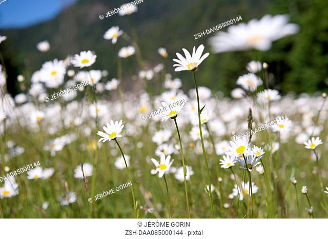 Wild daisies, Olympic National Park, Washington, USA