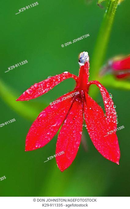 Cardinal flower (Lobelia cardinalis) Blossom with dew