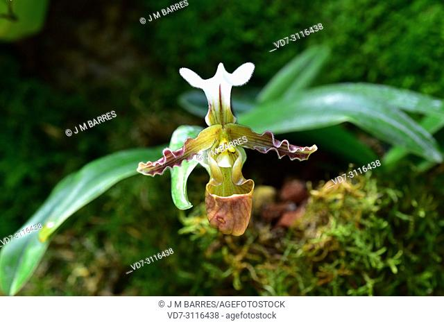 Paphiopedilum liemianum is an ornamental orchid endemic to Sumatra