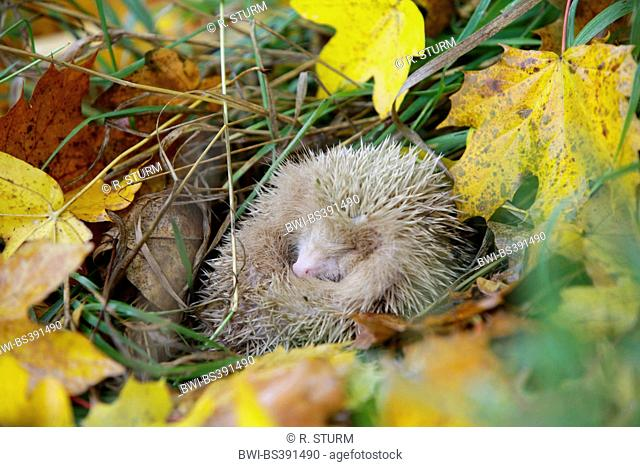 Western hedgehog, European hedgehog (Erinaceus europaeus), white albino lying rolled up in autumn leaves, Germany, Bavaria