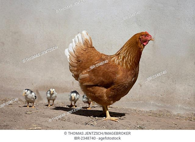 Dresden chicken with black and white chicks, cross-bred with Italian Chicken, also known as Leghorn