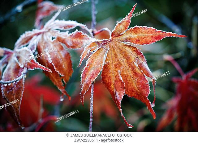 Acer palmatum with frost