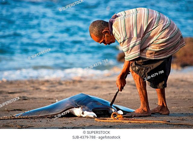 A man butchering a dead devilray Mobula japanica, dragged onto beach in Lamalera, Lembata Island, Eastern Indonesia