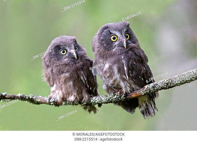 Europe,Finland,Kuhmo area,Kajaani,Boreal owl or Tengmalm's owl (Aegolius funereus),two youngs just after they left the nest,perched on a branch