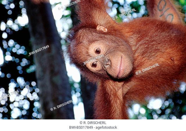 orang-utan, orangutan, orang-outang (Pongo pygmaeus), portrait, Malaysia, Sabah, Sepilok