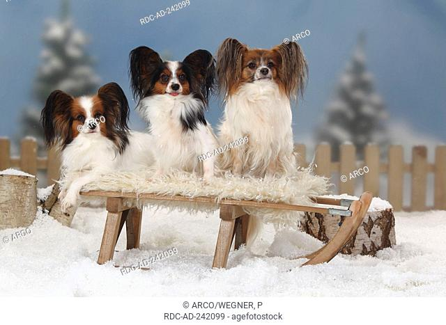 Papillons Continental Toy Spaniel Butterfly Dog toboggan