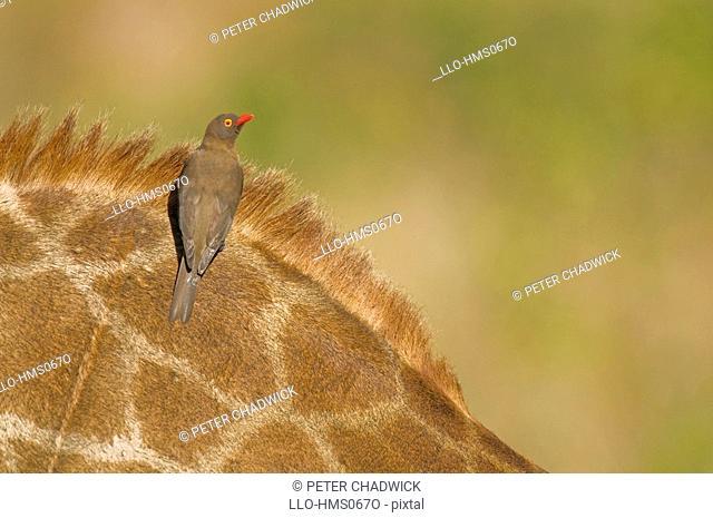 Red Billed Oxpecker Buphagus erythrorhynchus on giraffe Giraffa camelopardalis. Hluhluwe-Umfolozi Game Reserve, KwaZulu-Natal Province, South Africa