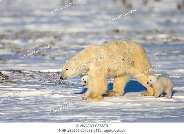 Polar bear (Ursus maritimus) mother and cubs walking, Canada, Manitoba, 2