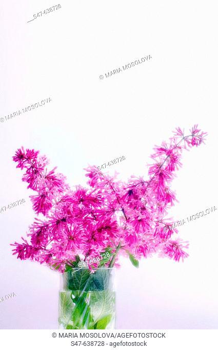 Persian Lilac. Syringa persica. May 2005, Maryland, USA