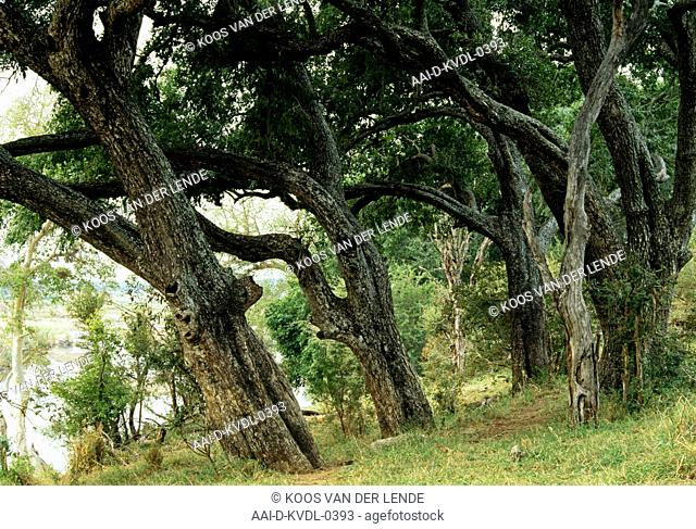 Jackalberry trees, (Diospyros mespiliformis), Crocodile River, Limpopo Province, South Africa