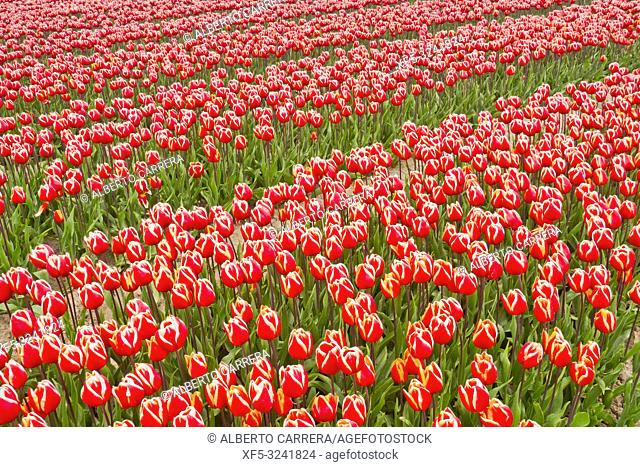 Colorful Tulips Fields, Holland, Netherlands, Europe