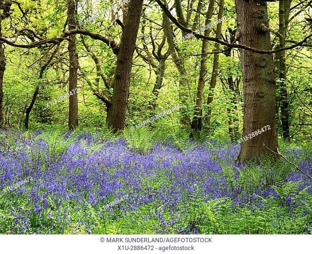 Bluebells at Middleton Woods near Ilkley West Yorkshire England