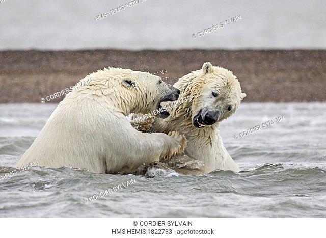 United States, Alaska, Arctic National Wildlife Refuge, Kaktovik, Polar Bear (Ursus maritimus), swim in the sea, youngs playing