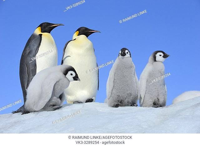 Emperor penguins, Aptenodytes forsteri, Pair with Chicks, Snow Hill Island, Antartic Peninsula, Antarctica