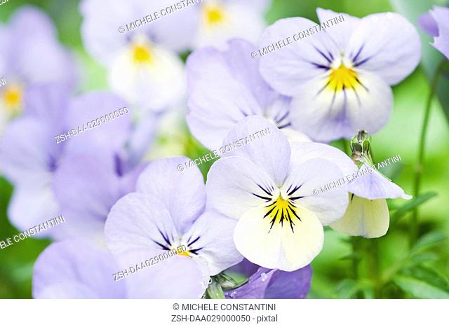 Pansies, close-up