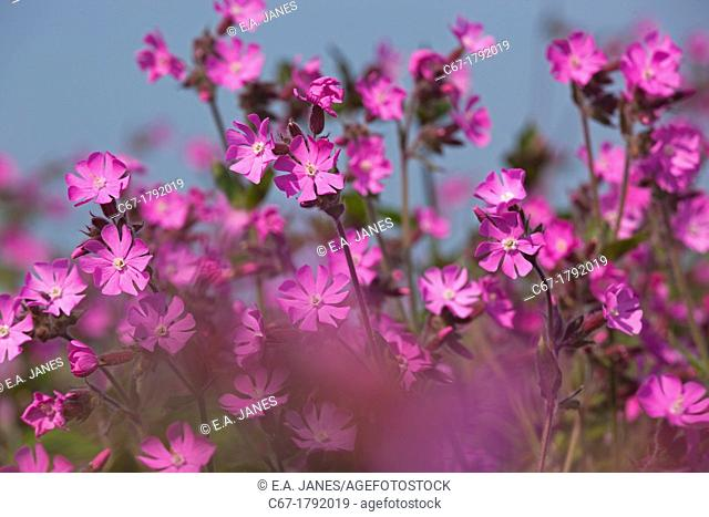 Red Campion Silene dioica Norfolk UK May