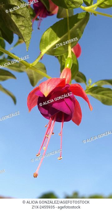Fuchsia spp Familia: Onagraceae Caracas, Venezuela