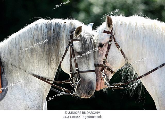 two Lusitano horses - portrait