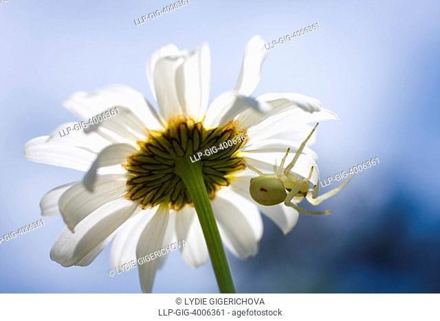 Oxeye Daisy Leucanthemum vulgare, Chrysanthemum leucanthemum, Leucanthemum leucanthemum and Crab Spider Misumena vatia, Vyzkum hill, Bile Karpaty