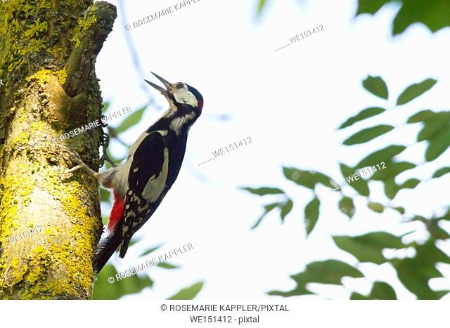 germany, saarland, homburg - A great woodpecker is sitting on a tree bole