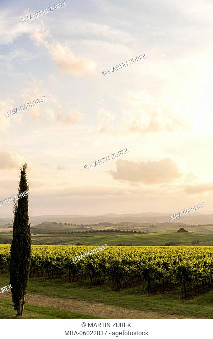 Vines and cypresses with Tavernelle, Montalcino, Siena, Tuscany, rest, width, evening mood