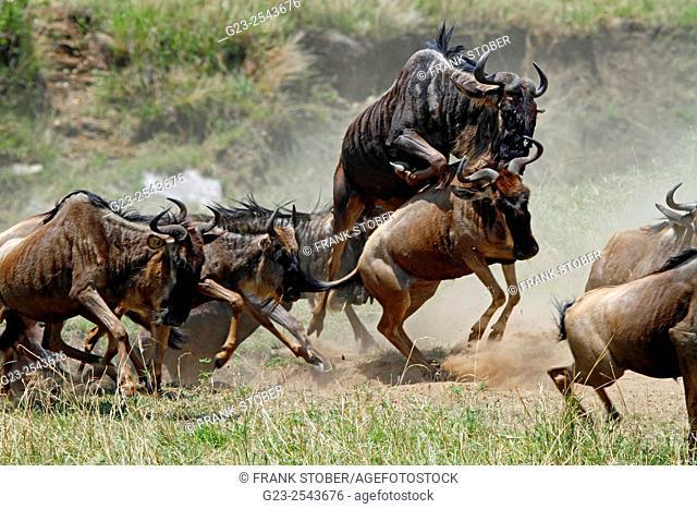 Blue wildebeest (Connochaetes taurinus albojubatus) running