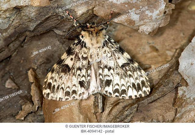 Ethiopian moth (Rhypopterix sp.), Harenna Forest, Bale Mountains, Oromia Region, Ethiopia