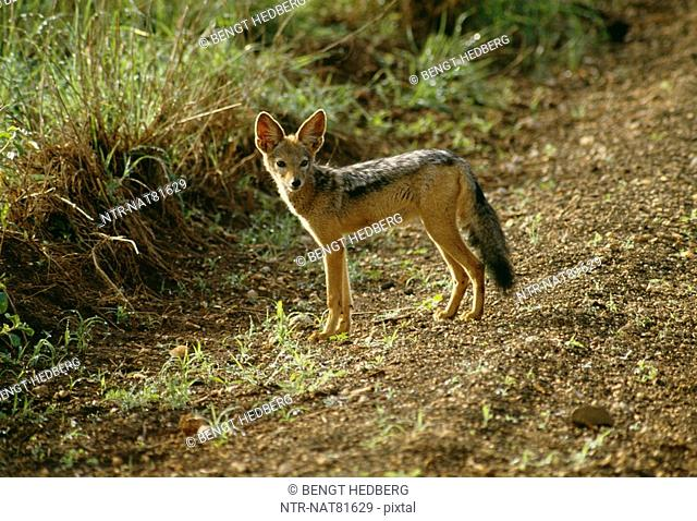 Black Backed Jackal, Tsawo West National Park, Kenya