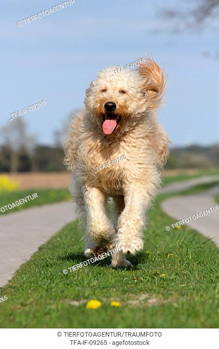 Running goldendoodle Stock Photos and Images | age fotostock