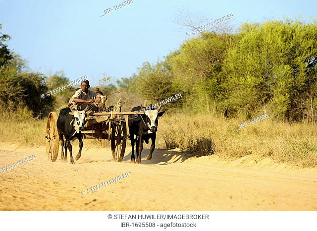 Farmer with cart drawn by two Zebu or Humped Cattle (Bos primigenius indicus), Morondava, Madagascar, Africa