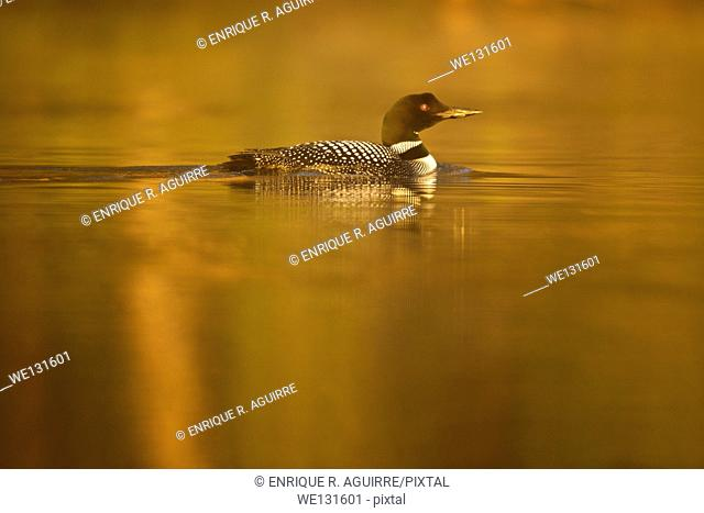 Great Northern Loon (Gavia immer), Common Loon in the fog at sunrise