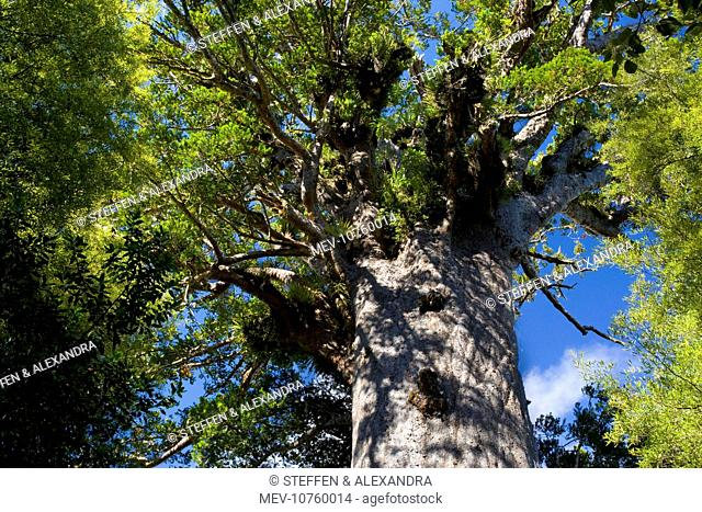 Tane Mahuta - this giant Kauri tree is the largest known living Kauri in New Zealand and is more than 1250 years old. Tane Mahute is Maori and means 'Ruler of...