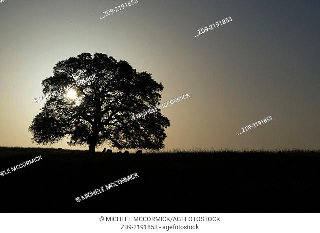 An oak tree is silhouetted by the rising sun