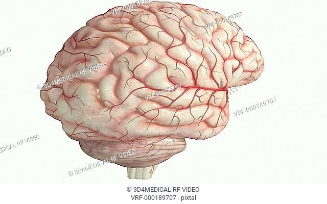 An animation depicting the location of the pons. The camera zooms into the ventral surface of the brainstem and the pons is highlighted