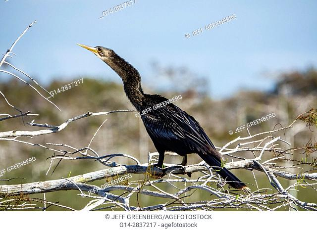 Florida, Everglades National Park, Shark Slough, Pa-Hay-O-Kee, Pahayokee Trail, dwarf cypress, bird, Anhinga