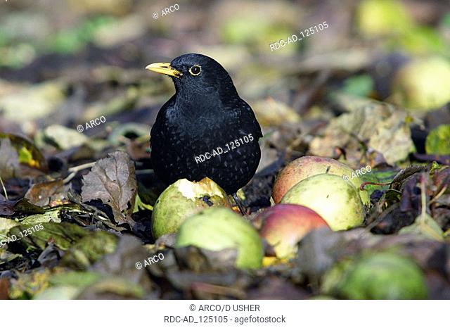 Blackbird male with windfall apples Lower Saxony Germany Turdus merula