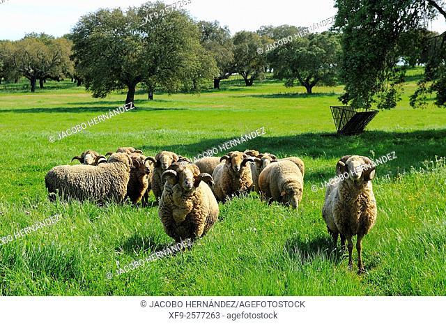Rams.Alentejo.Portugal
