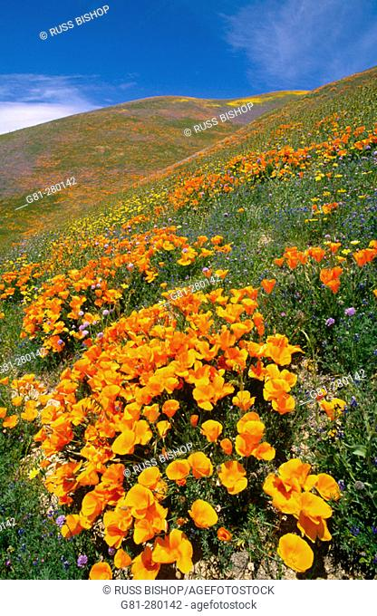 California Coreopsis (Coreopsis californica) and California Poppies (Eschscholzia californica). Tehachapi Mountains. Angeles National Forest
