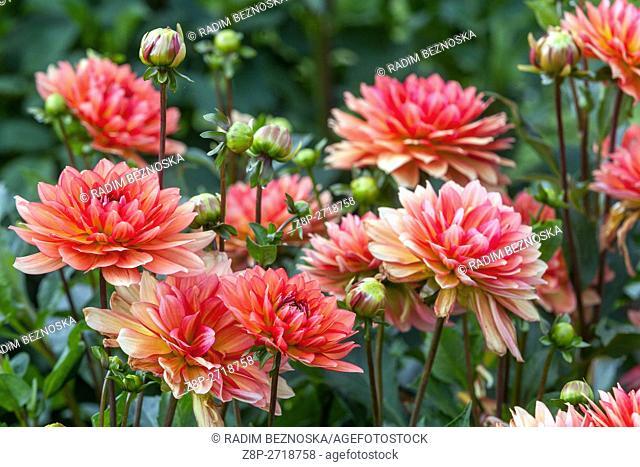 Dahlia ' Dukat ' flower