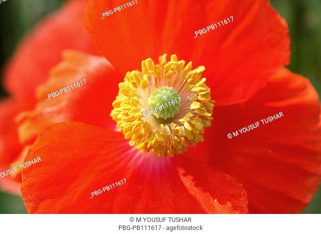 A Red Poppy, papaver rhoeas, is one of the many species and genera named poppy It is a variable annual plant, forming a long-lived soil seed bank that can...