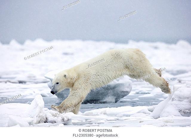 Polar Bear Jumping Across An Ice Floe;Churchill Manitoba Canada