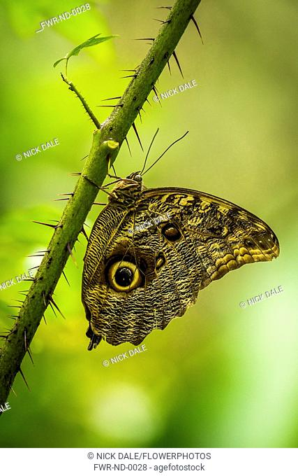 Butterfly, Blue-banded morpho, Morpho achilles, On thorny green stem, Iguazu, Brazil