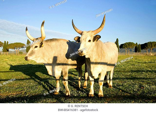 Maremmana (Bos primigenius f. taurus), two Maremmanas standing together in a pasture, Italy, Tuscany