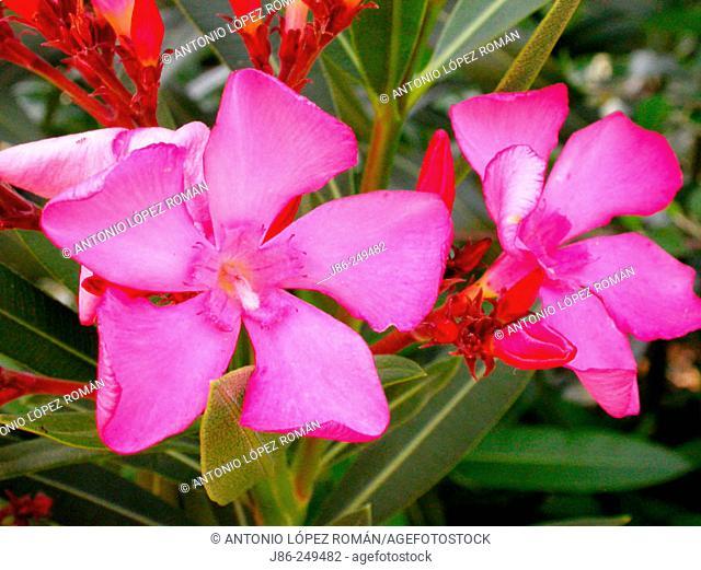 Oleander (Nerium oleander)