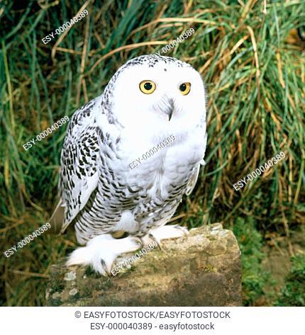 Snowy Owl (Nyctea scandiaca), female